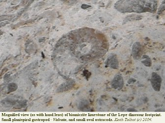 Gastropod and ostracods in biomicrite of the footprint slab, Lepe Beach, Hampshire