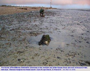 Bembridge Limestone blocks on the shore near Stone Point, Hampshire