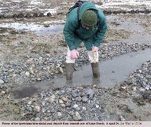 Pieces of the Ipswichian Interglacial mud deposit near Stone Point, Lepe, Hampshire