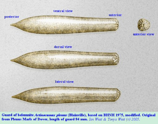 Guard of the belemnite Actinocamax Plenus of the Plenus Marl, Chalk, Dover