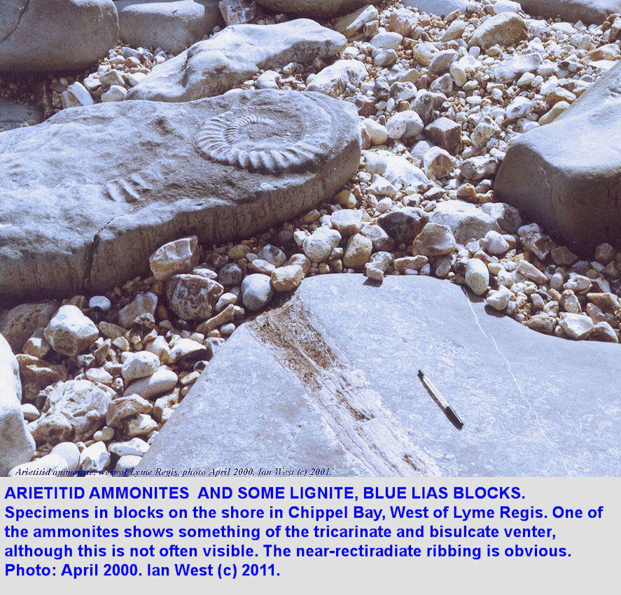 An uncrushed arietitid ammonite (Coroniceras), and some lignite, blocks from the Blue Lias, Chippel Bay, Lyme Regis, Dorset