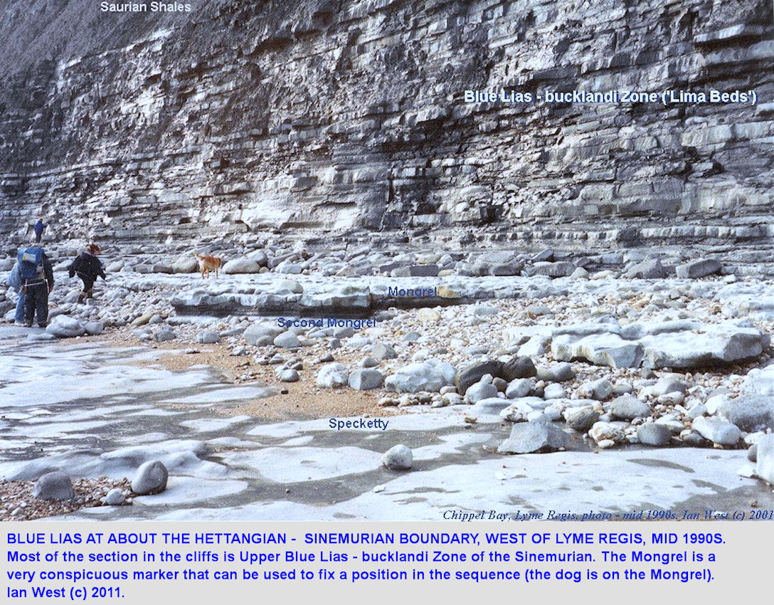 The Mongrel is a conspicuous marker horizon in the Upper Blue Lias, Hettangian, Ware Cliffs, west of Lyme Regis, Dorset, old photo