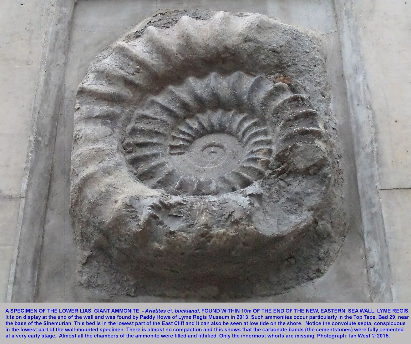 A prepared specimen of the giant ammonite, Arietites cf. bucklandi, on display in a wall at the end of the new, eastern sea defences, Lyme Regis, Dorset, June 2015