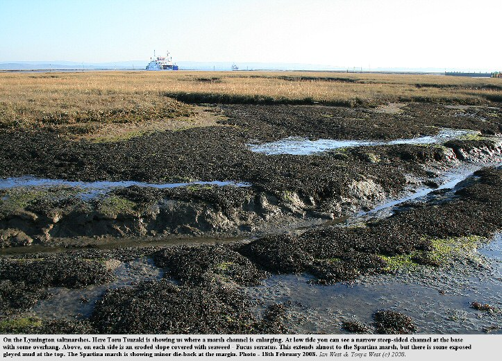A channel in the saltmarshes at Lymington, Hampshire, that is enlarging with development of Fucus-covered mud