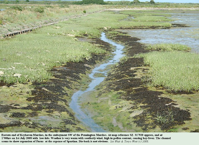 A channel in Spartina saltmarshes at the eastern end of the Keyhaven Marshes, with extension of Fucus on the channel margins, 1st July 2008