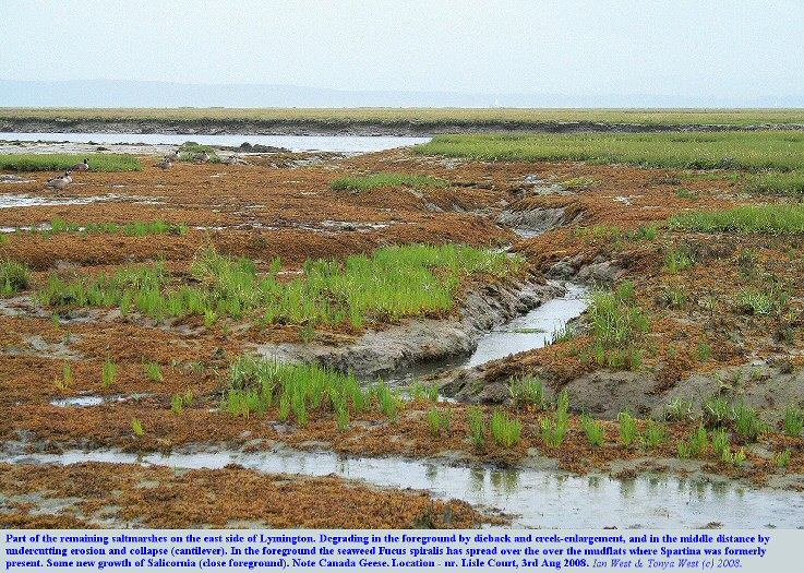 Erosion or die-back of Spartina saltmarsh and spread of Fucus on mudflats, near Lisle Court, east of Lymington, Hampshire, 4th August 2008