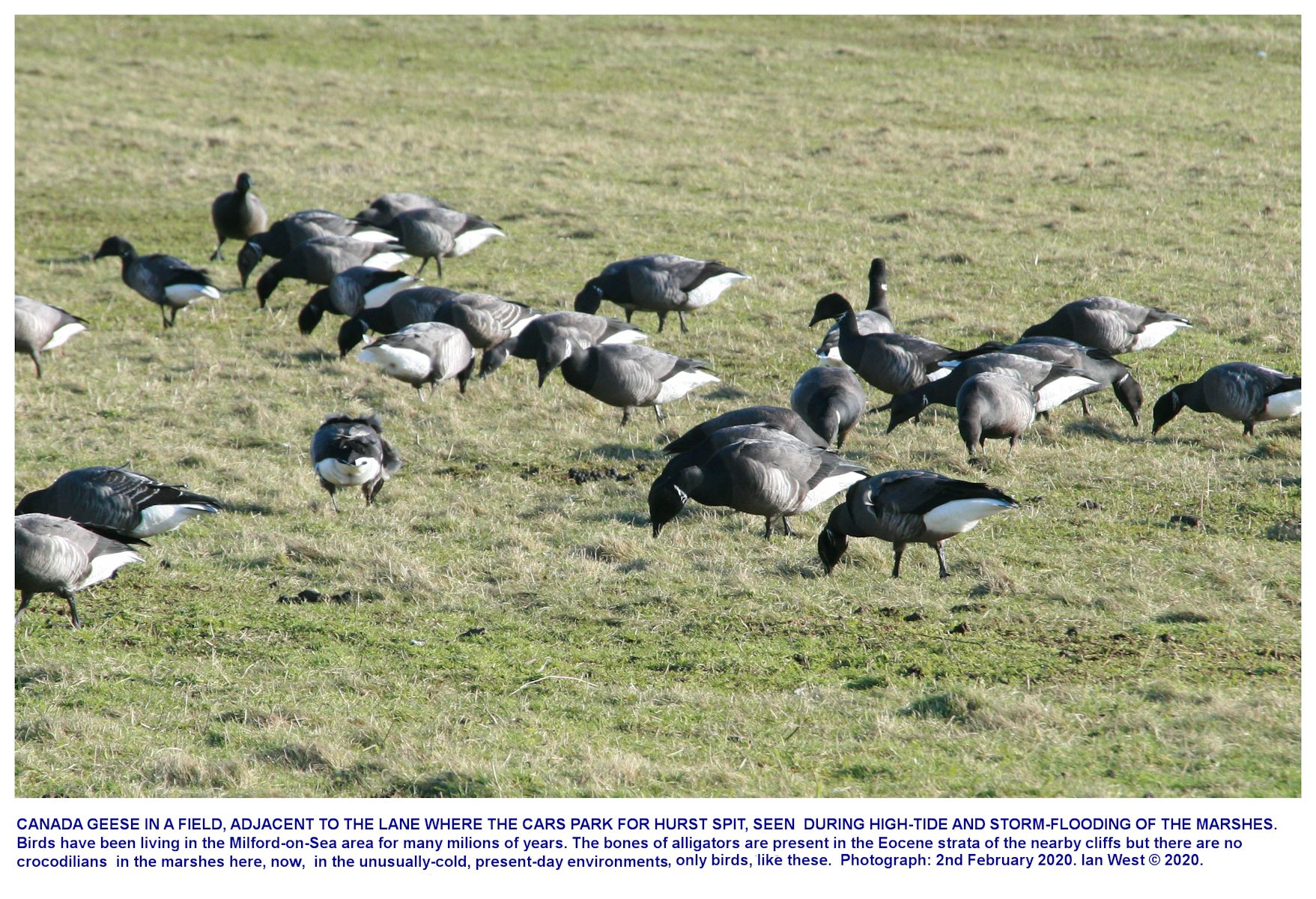 Canada Geese in a field near Hurst Spit, Milford-on-sea, they have moved inland in stormy conditions and sea-flooding of the marshes near Hurst Spit, early February 2020