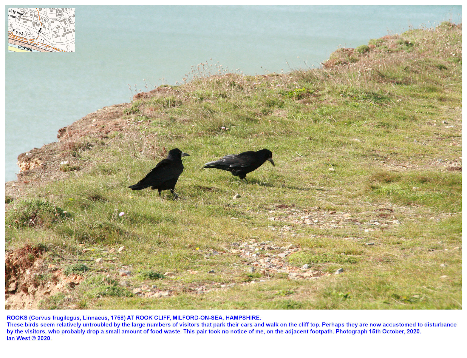 Rooks on the cliff top at Rook Cliff,  Milford-on-Sea, 15th October 2020