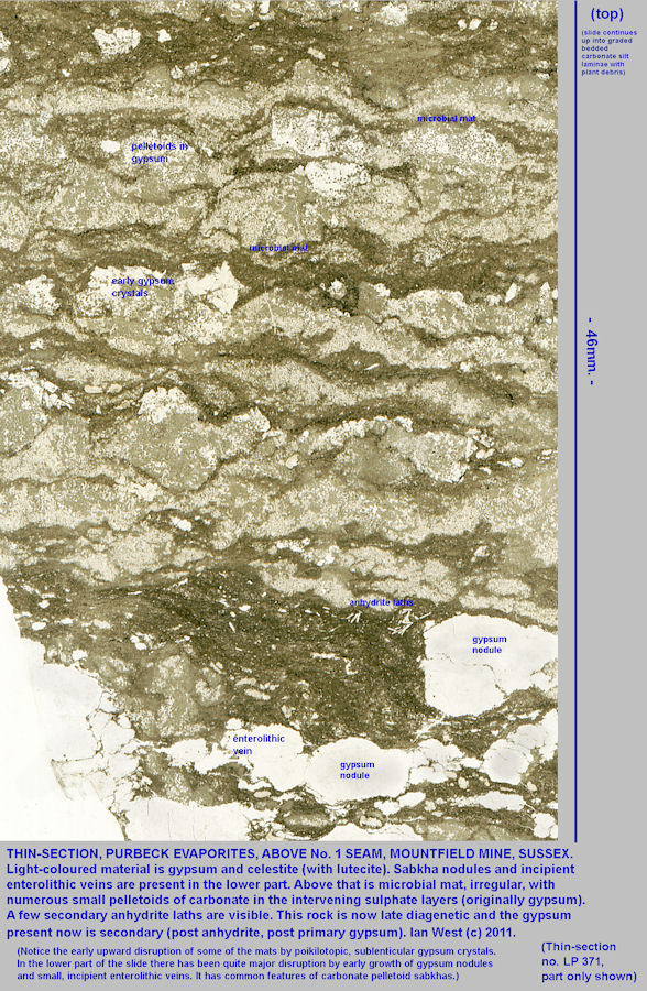 Thin section through a microbial mat associated with gypsum, celestite and lutecite, Lower Purbeck Formation, Mountfield Mine, Sussex