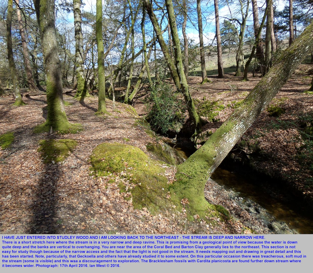 The initial entry area in the northern corner of Studley Wood, New Forest National Park, showing the narrow and deep stream bed, April 2016