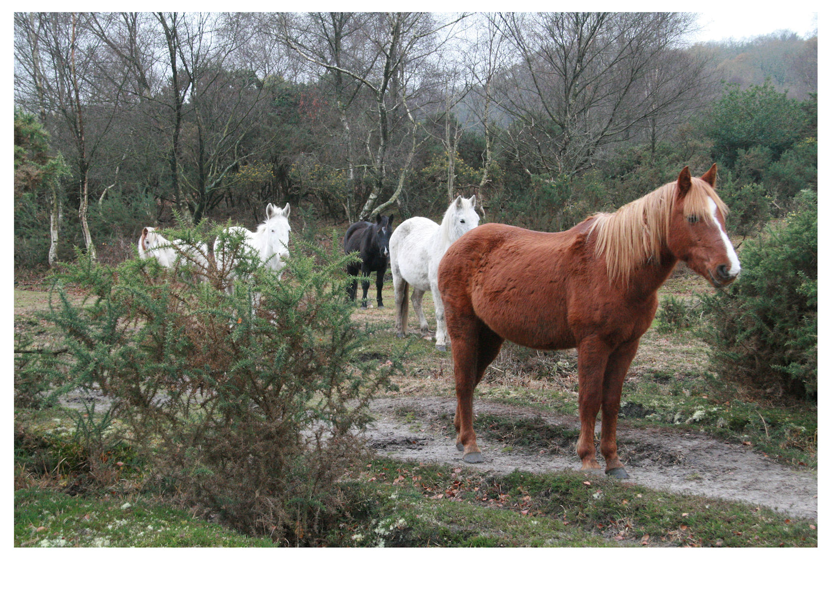 New Forest ponies, living wild near Stagbury Hill, Cadnam Common, New Forest, Hampshire, as seen by Ian West on a rainy day, 30th November 2020