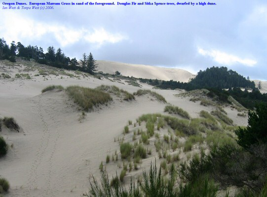 Oregon Dunes, large barren dune with development of trees on an older dune