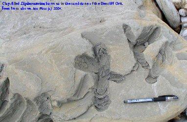 Diplocraterion burrows in Bencliff Grit, Osmington Mills, Dorset