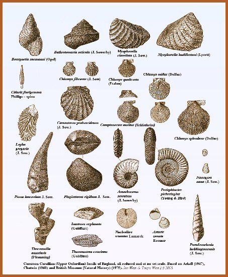 Common fossils of the Corallian Group at Osmington Mills, Dorset, and elsewhere