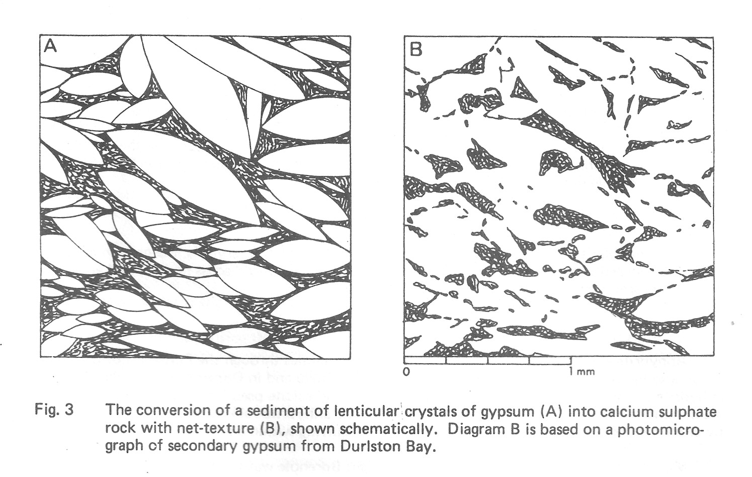 The conversion of a sediment of lenticular crystals of gypsum (A) into calcium sulphate rock with net-texture (B) shown schematically. Diagram B is based on a photomicrograph of secondary gypsum from Durlston Bay