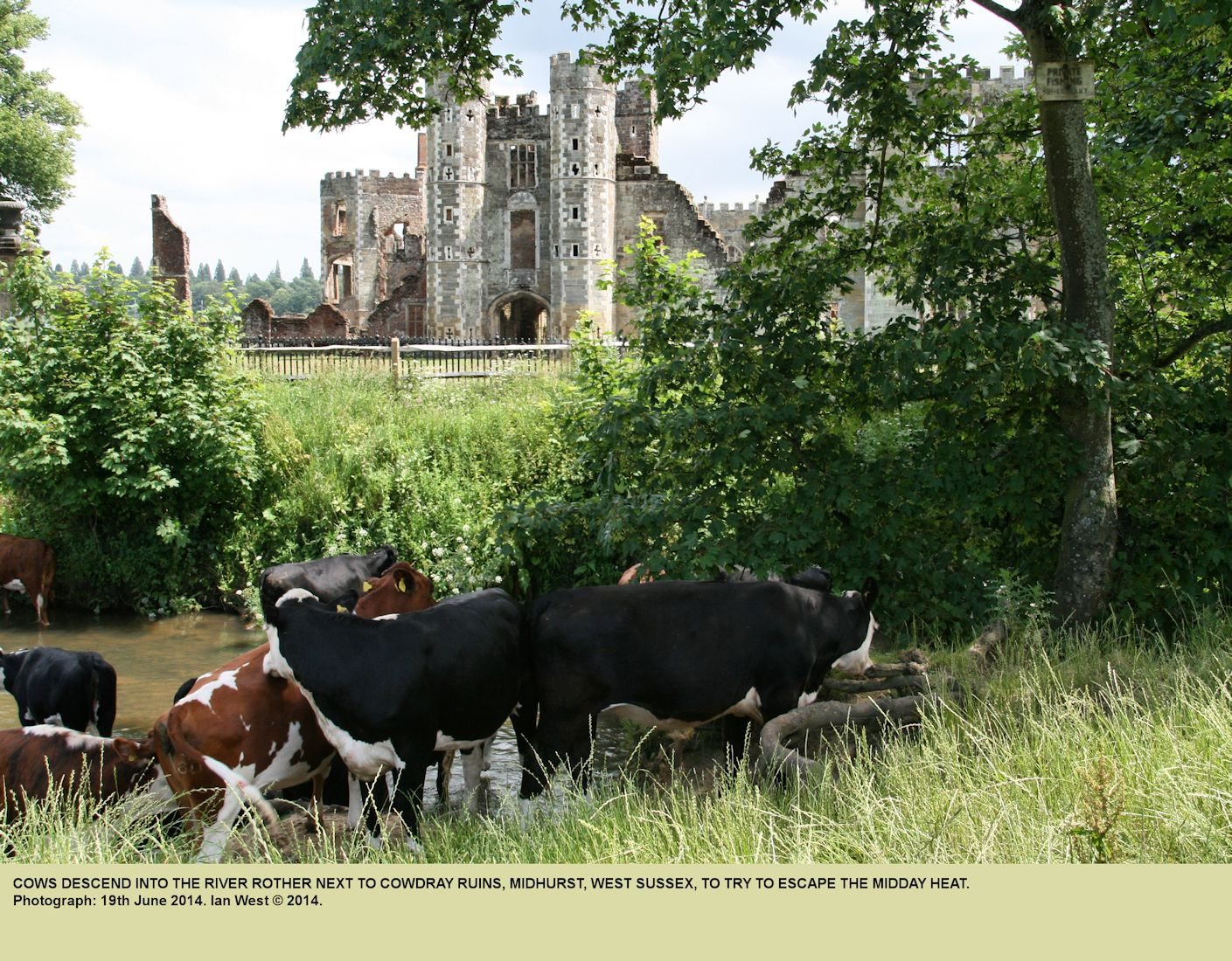 Cows enter the River Rother at Cowdray Ruins, Midhurst, to avoid the heat of the midday sun, 19th June 2014
