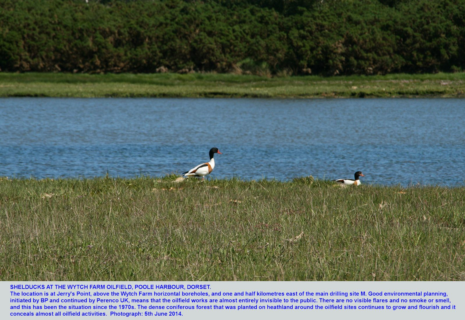 Shelducks on the east side of the South Haven, Studland, peninsula, above the horizontal wells and only one and half kilometres east of the main drilling site of the Wytch Farm Oilfield, 5th June 2014