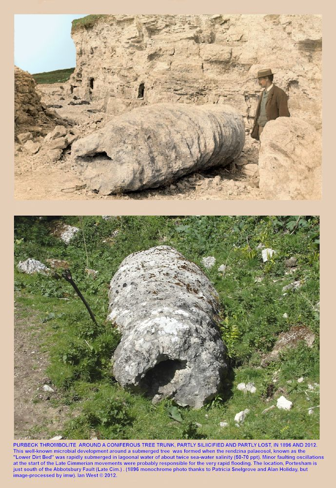 A large thrombolite which has developed around a tree trunk standing in hypersaline water, above the Lower Dirt Bed, Basal Purbeck Group, Portesham Quarry, Dorset, seen in 1896 and 2012