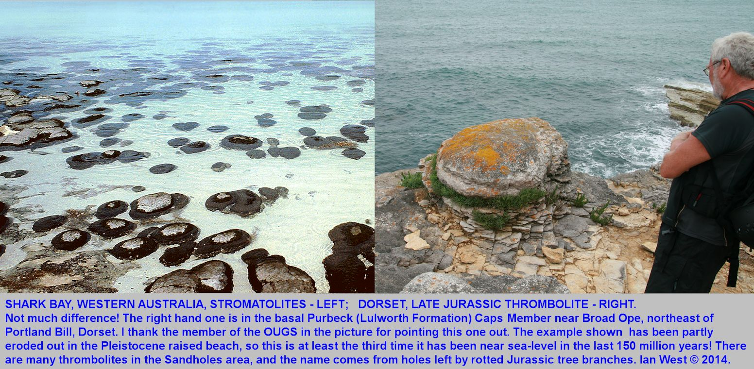 A Jurassic, Purbeck, thrombolite seen northeast of Portland Bill, Dorset, and similar to modern stromatolites at Shark Bay, Western Australia, left photograph courtesy of Dr. Geoff Townson