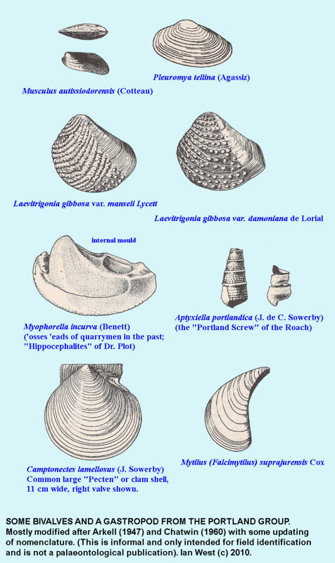 Some fossil bivalves and a gastropod from the Portland Group, Dorset