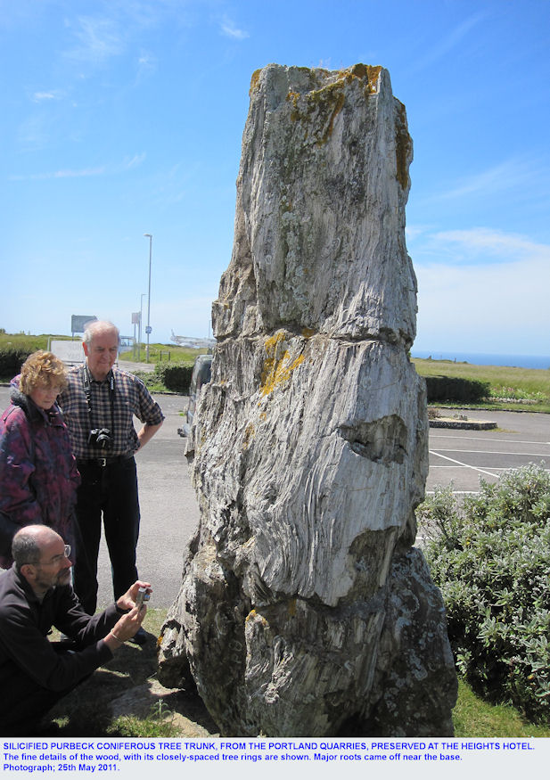 Large silicified Purbeck fossil tree, preserved at the Heights Hotel, Isle of Portland, Dorset, side view, May 2011