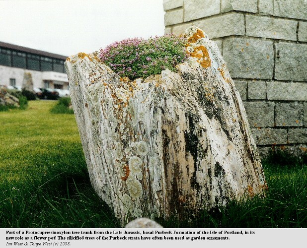 A silicified tree trunk from the basal Purbeck Group of the Isle of Portland, Dorset, now in use as a flowerpot