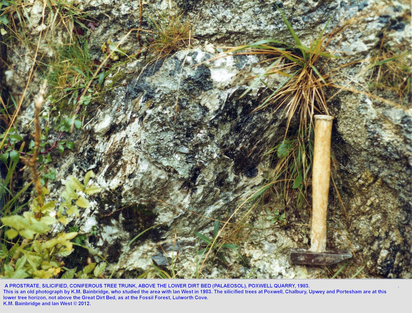 A prostate, silificied tree trunk above the Lower Dirt Bed, at Poxwell Quarry, Dorset, after Bainbridge, 1983