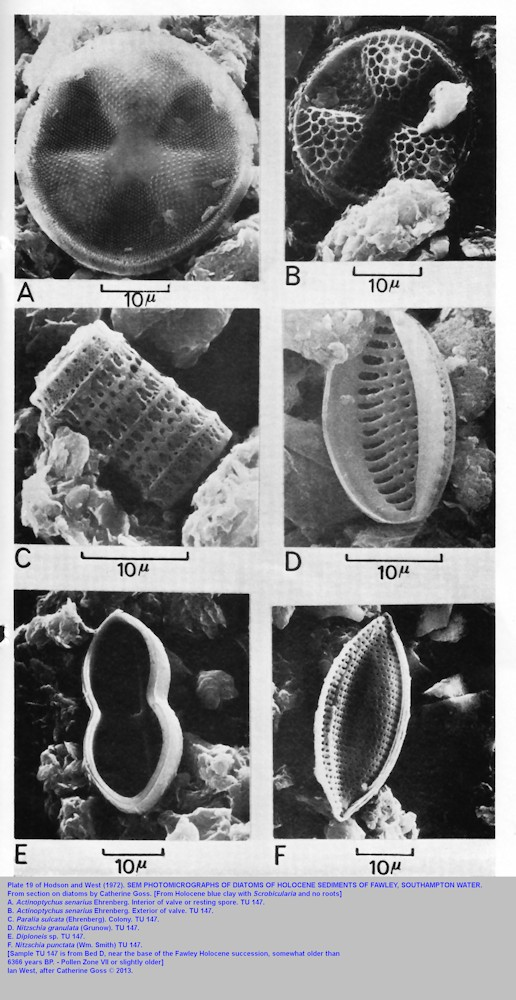 Plate 19 of Hodson and West, 1972, - Diatoms from Bed D, Holocene, estuarine sediments of Fawley, Southampton Water, Solent Estuaries, southern England