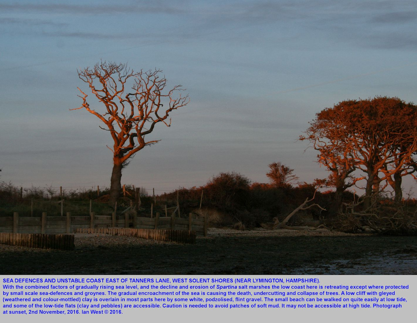 Erosion of the low cliffs east of the house at Tanners Lane, West Solent, showing dead and fallen trees at sunset, 2nd November 2016