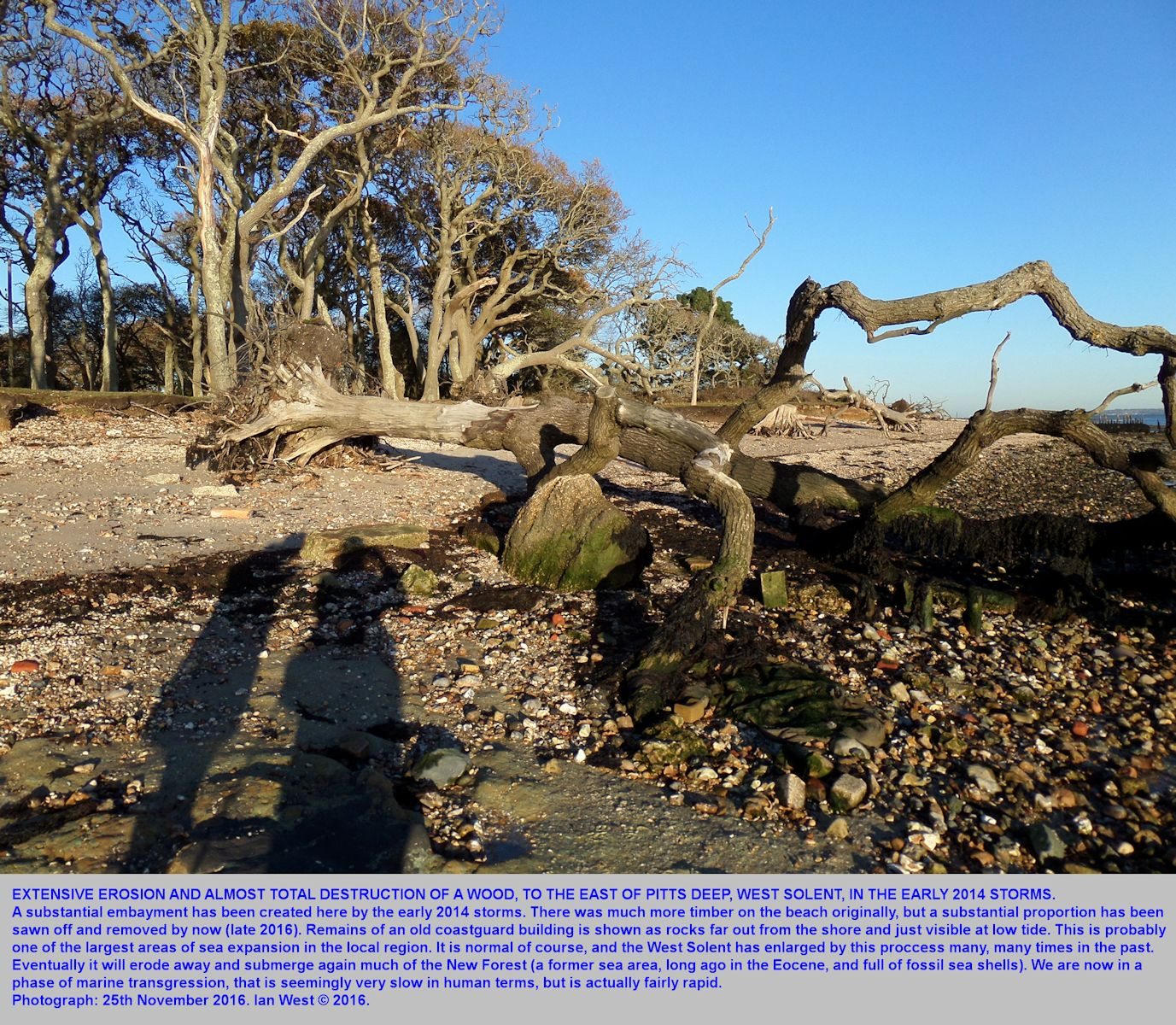 Major erosion of a wood, east of Pitts Deep, Solent Estuaries, southern England, mainly during the storms in early 2014, but as seen in November 2016