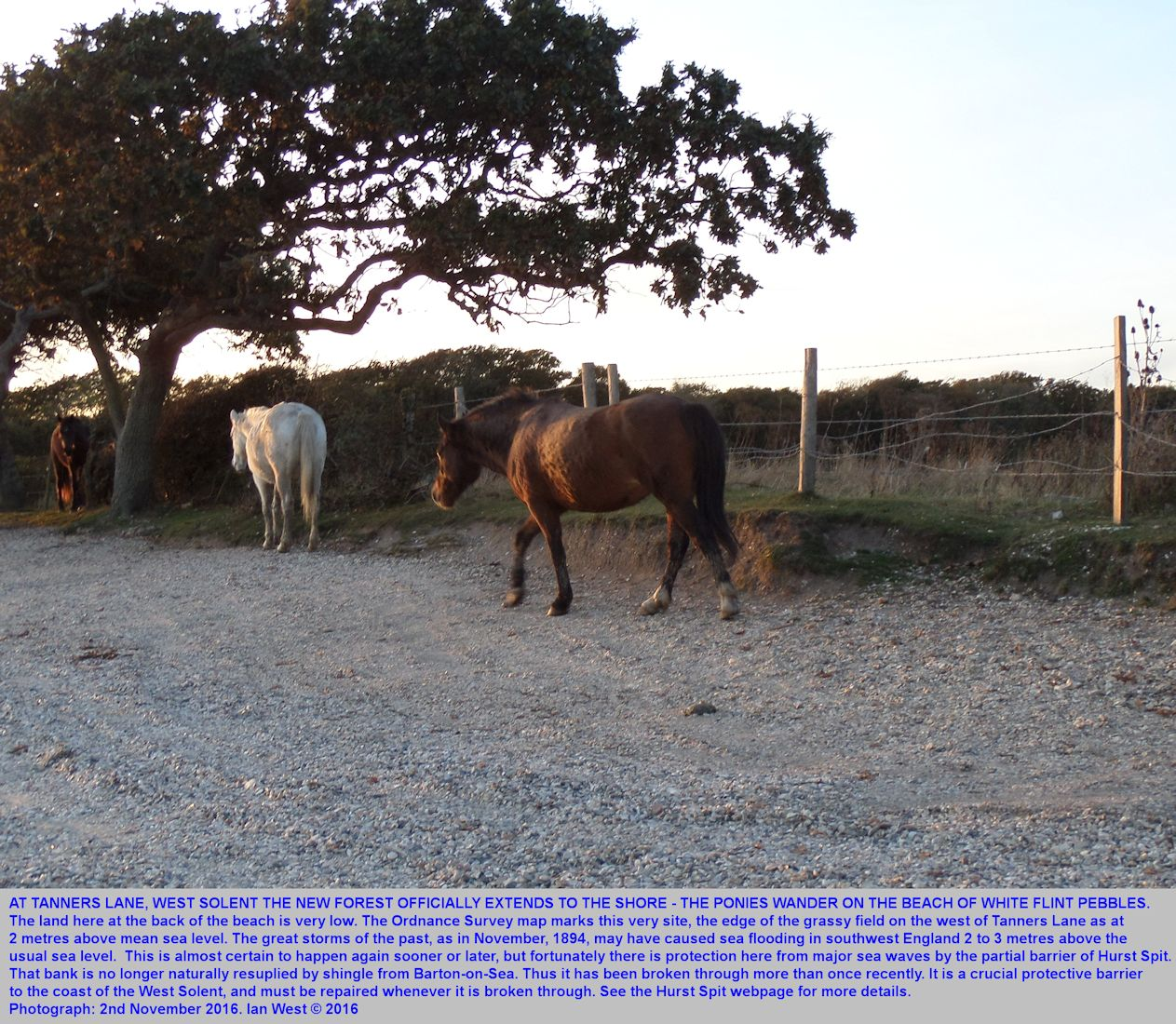 New Forest ponies near and just to the west of the seaward end of Tanners Lane, West Solent, southern England, 2nd November, 2016