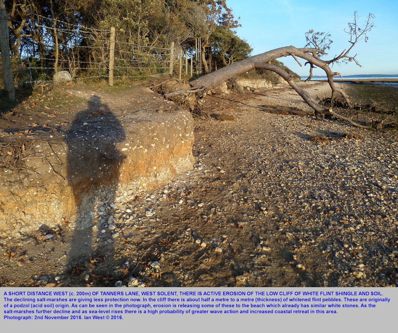 Erosion of a low cliff and collapse of a tree, a short distance west of Tanners Lane, Solent Estuaries, southern England, 2nd November 2016