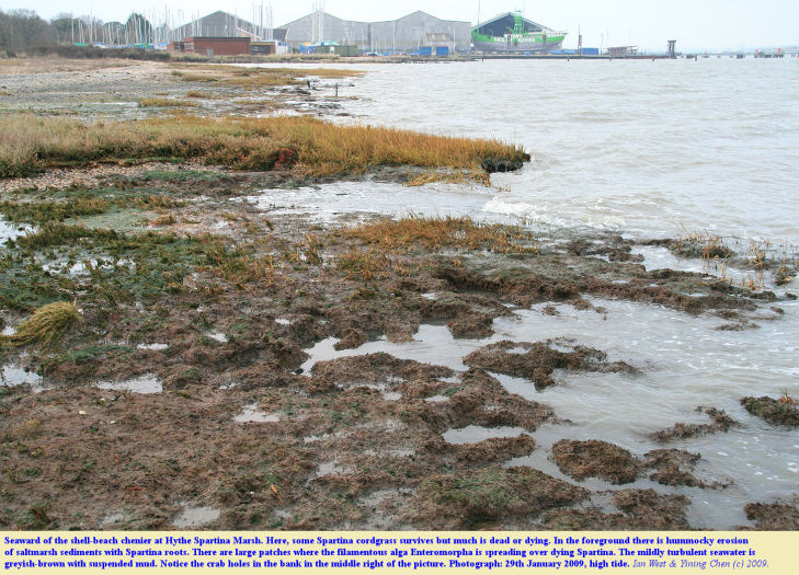 Deterioration and erosion of saltmarsh seaward of a shell-beach chenier, Hythe Spartina Marshes, Hythe, Southampton Water, Solent, southern England