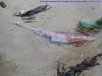 Dead squid on South Beach, Studland, Dorset