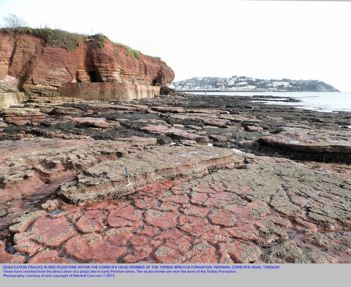 Desiccation cracks in red mudstone, Corbyn's Head Member, Corbyn's Head, Torquay, Devon, Jaunary 2012