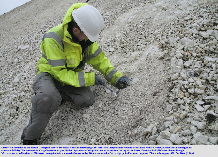 Hammering out fossil material of Platyceramus in the Chalk of a cutting of the Weymouth Relief Road, Dorset, 4th August 2009