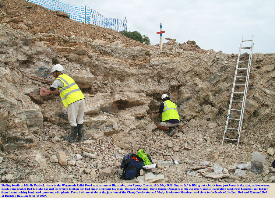 Good fossil discoveries in the Black Band (83) and the Plant Bed (85) in the Middle Purbeck strata at an excavation at Bincombe, Weymouth Relief Road, Dorset