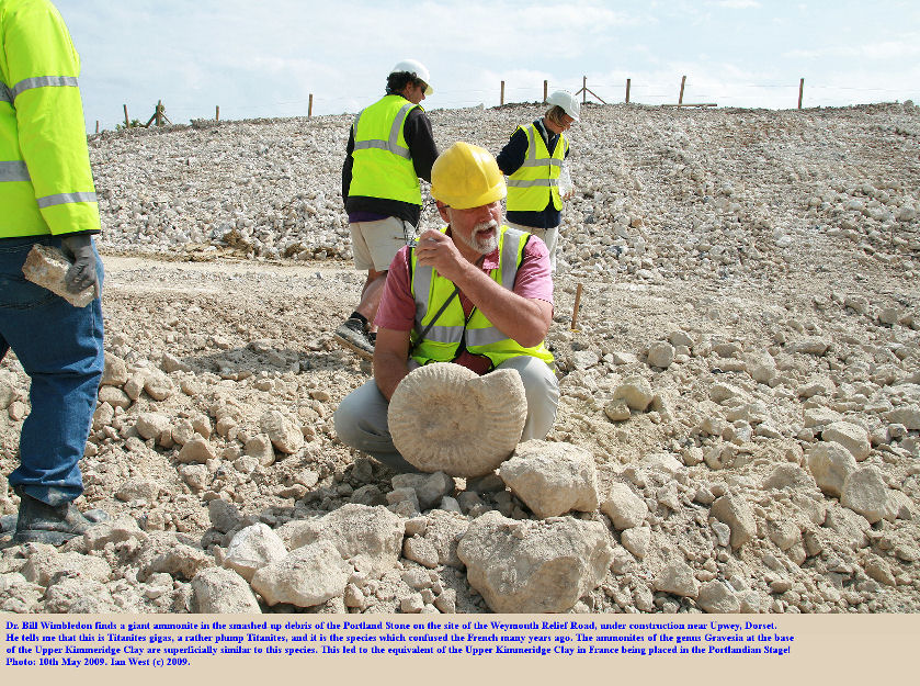 Bill Wimbledon examines a Titanites gigas in the Portland Stone debris at the site of the Weymouth Relief Road, near Upwey, Dorset