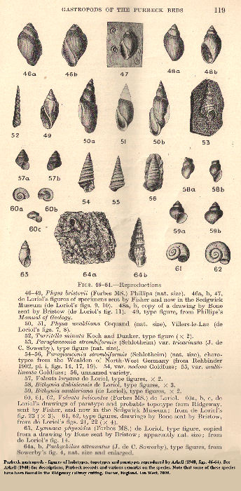 Purbeck gastropods, reproductions of holotypes, topotypes and paratypes by of Arkell (1941), including Lymnaea physoides (Forbes MS) from the Lower Purbeck strata of the Ridgeway Cutting, near Upwey, Dorset