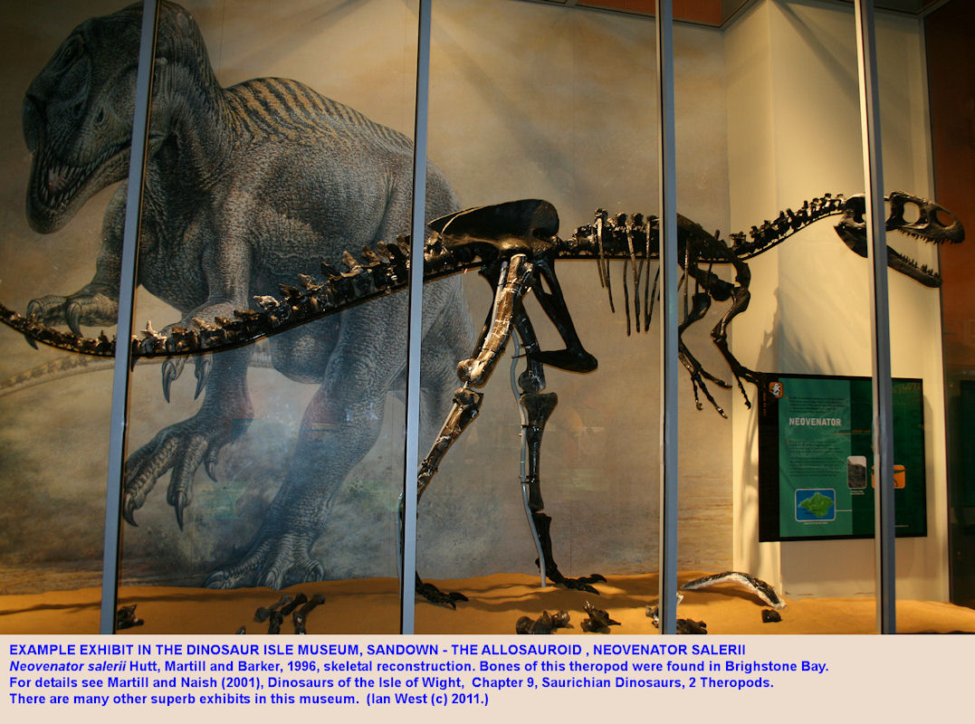 The Allosauroid dinosaur - Neovenator salerii, skeletal reconstruction in Dinosaur Isle Museum, Sandown, Isle of Wight
