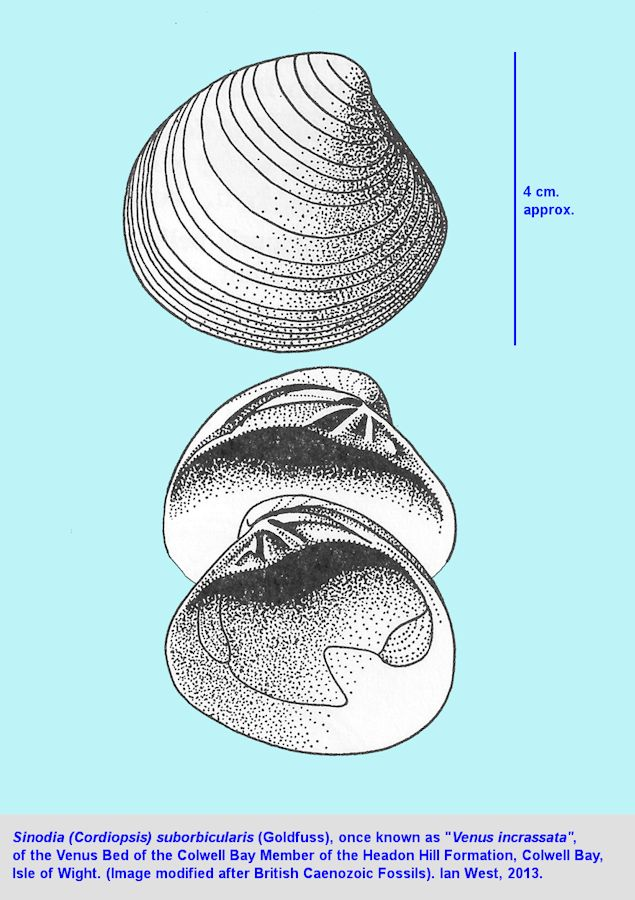 Sinodia suborbicularis, a bivalve from the late Eocene, Venus Bed of Colwell Bay and elsewhere on the Isle of Wight