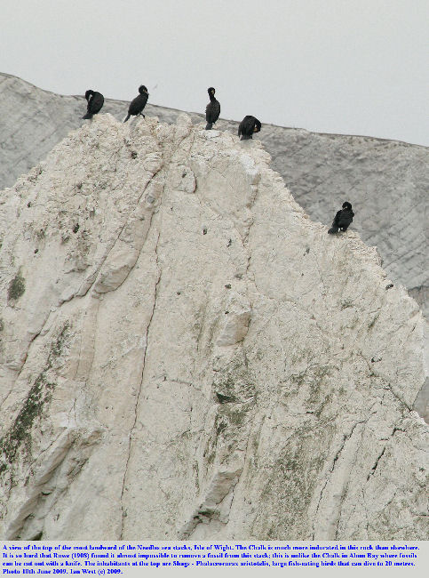 The top of a sea stack, the most shoreward of the Needles, Isle of Wight, with Shags resting on the top of the steeply dipping slabs of Upper Chalk, 10th June 2009
