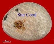 Portland Star Coral