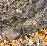 Fossil shell, Highcliffe, 07.03.01