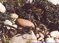 Budleigh Salterton quartzite pebbles on the beach at Church Cliffs, 14th September 2001