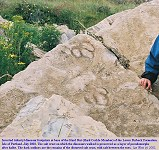 Dinosaur footprints, Hard Cockle Member, Lower Purbeck Formation, Portland
