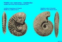 Ammonites - species of Amaltheus, Middle Lias