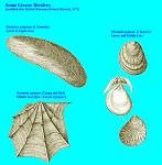 Liassic bivalves including Oxytoma