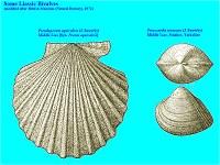 Liassic bivalves - Pseudopecten and Protocardia