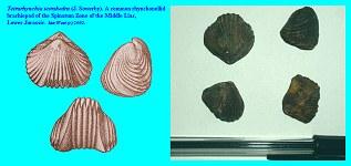 Tetrarhynchia tetrahedra of the Middle Lias